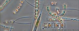 Microscope picture of plankton