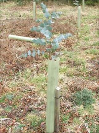 Eucalyptus sapling