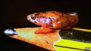 Microhyla nepenthicola, a new species of frog discovered in Borneo