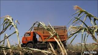 An employee drives a truck as he harvests maize in Russia