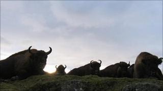 Bison at Highland Wildlife Park, Kincraig