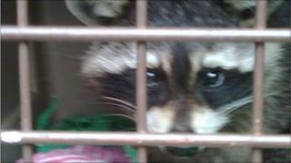 Raccoon (Pic: SSPCA)