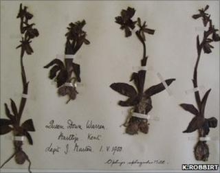 Sheet of an early spider orchid specimen held at Kew's herbarium (Image: K.Robbirt)
