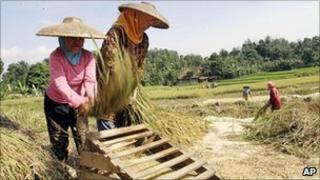 Rice harvest in West Java, Indonesia. Aug 2010