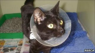 Cat which had to have its leg amputated after it rotted away under a bandage