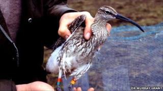 Whimbrel in 1980s [Pic: Dr Murray Grant]