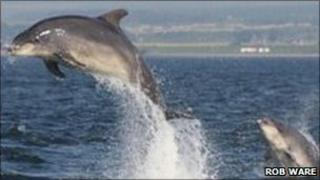 Bottlenose dolphins in Moray Firth. Photo by Rob Ware