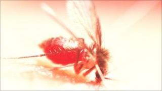 Sandfly