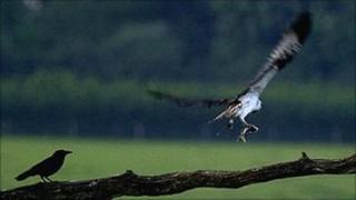 Osprey clutching a trout