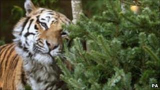 Tiger Yuri
