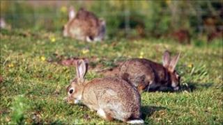 Wild rabbits (generic)