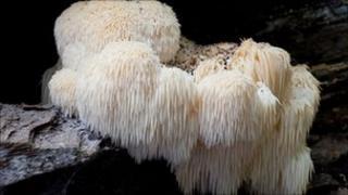Bearded tooth fungus