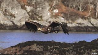 Sea eagle. Pic: RSPB Images