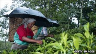 Tea pickers in India