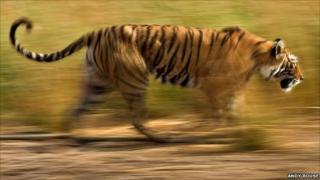 A tiger charging its prey