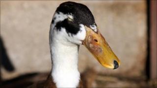 Duck (file photo)