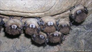 Group of little brown bats displaying symptoms of WNS (Nancy Heaslip/New York Department of Environmental Conservation)
