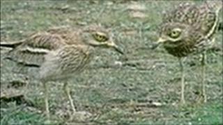 Stone curlews