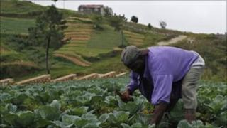 A farmer tends to crops, one-day after the pass of hurricane Tomas, in Kensckoff, near Port-au-Prince November 6, 2010