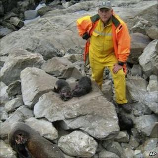 Phil Bradfield, department of conservation staffer, with killed seals at Kaikoura New Zealand 2 dec 2010
