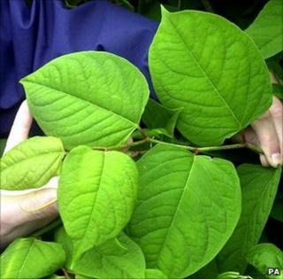 Foliage of Japanese knotweed (Image: PA)