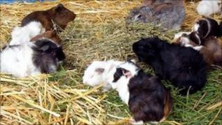 Guinea pigs and rabbits - generic