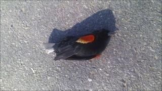 One of thousands of blackbirds that fell out of the sky on New Year's Eve lies on the ground in Beebe, Arkansas January 1, 2011 in this handout photograph.