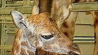 New baby giraffe at Paignton Zoo