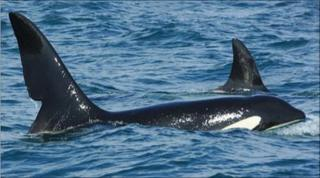 Orca called John Coe