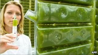 German researcher/experimental microalgae greenhouse
