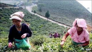Indian Darjeeling tea labourers