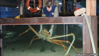 Crab Kong being placed in tank