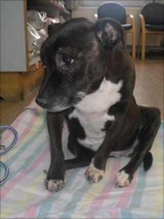The rescued Staffordshire Bull Terrier