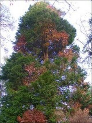 A cypress tree infected with Phytophthora lateralis
