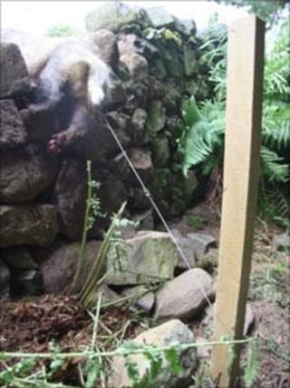 This badger was found alive in a snare on a shooting estate in the Borders