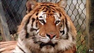 Bengal tiger. File photo