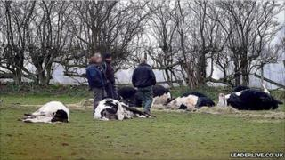 Cows shot dead at Chirk, near Wrexham (picture courtesy of leaderlive.co.uk)