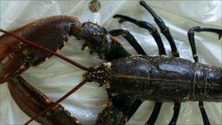 Lobster next to a 20p coin to show its size