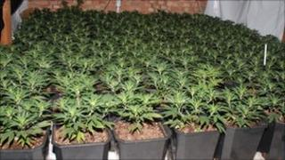 Beverley Road cannabis farm
