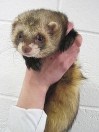Mickey the ferret