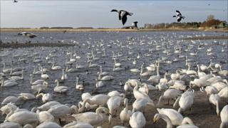 Whooper swans at WWT Martin Mere