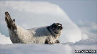 Harp seal in Canada