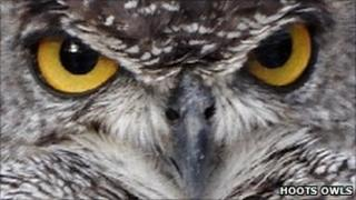 Bubo the African Spotted Eagle Owl