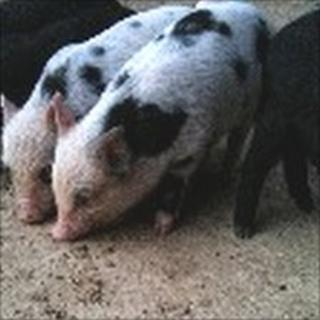 Stolen micro-piglets