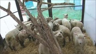 The rescued lambs in a pen at an RSPCA centre in Birmingham