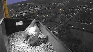 A peregrine falcon on the webcam
