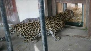Rajah the leopard looks out of his quarters