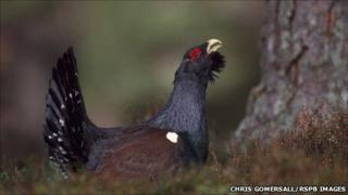 Capercaillie. Pic: Chris Gomersall/RSPB Images