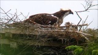 Osprey in Kielder