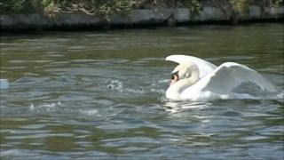 Mr Asbo, the Cambridge Swan